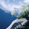 Edelweiss on a rock with mountain panorama.
